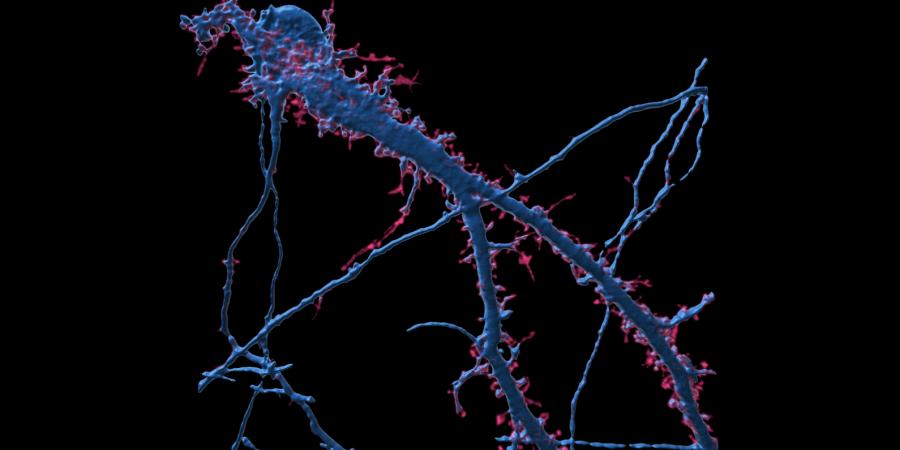 Cientistas descobrem que recetor envolvido na regulação do apetite também controla a memória