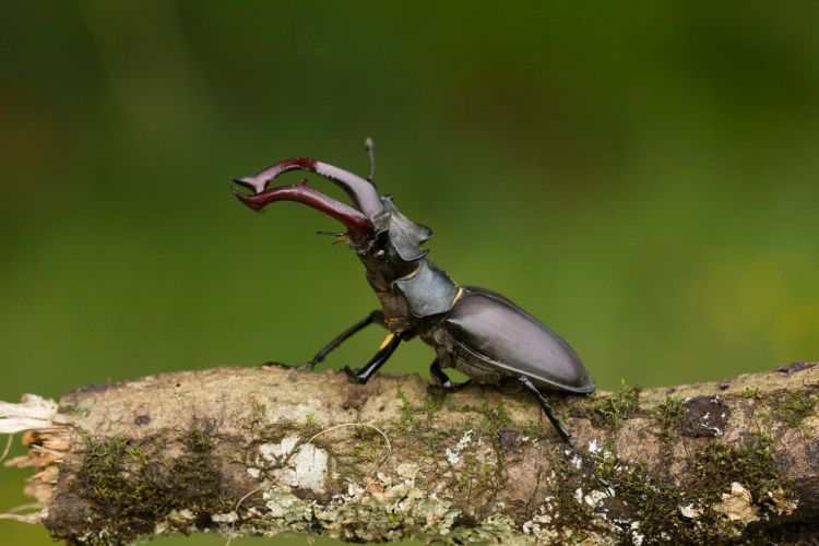 Querem proteger o escaravelho vaca-loura e precisam da tua ajuda