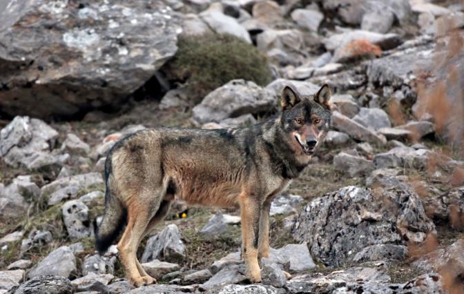 O Lobo Ibérico e uma história de superação