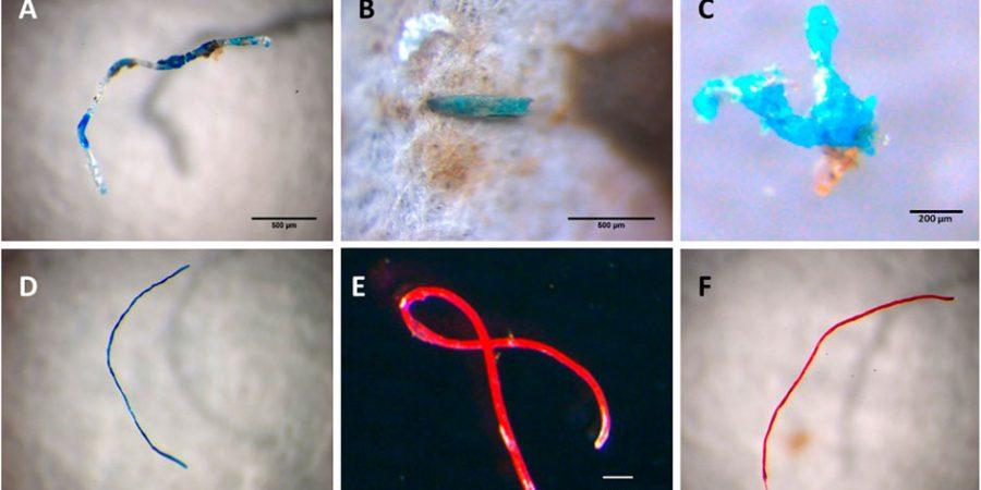 Estudo. Investigação detecta microplásticos em espécies marinhas recolhidas e consumidas em Portugal