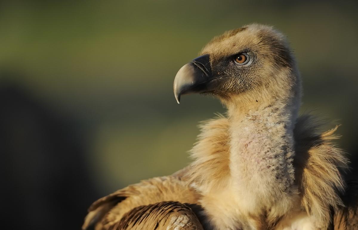 Os abutres em Portugal